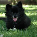 Mini Schipperke: The Perfect Watch Dog and Loyal Companion